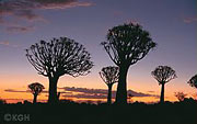quivertreeforest